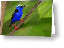Red-legged Honeycreeper Greeting Card