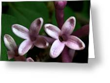 Red Lilac 1 Greeting Card