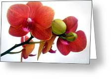 Red Orchid Flowers 02 Greeting Card