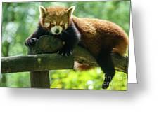 Red Panda Ailurus Fulgens Jerez De La Frontera Spain Greeting Card