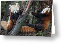 Red Panda Cubs At Play Greeting Card