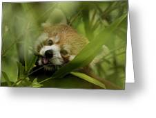 Red Panda Greeting Card
