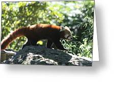 Red Panda In A Tree Greeting Card