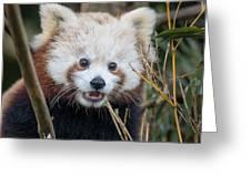 Red Panda Wonder Greeting Card