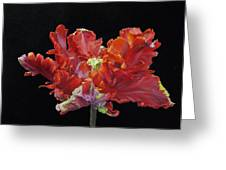 Red Parrot Tulip - Oils Greeting Card