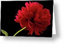 Red Peony  Greeting Card