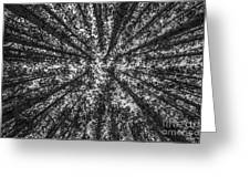 Red Pine Tree Tops In Black And White Greeting Card