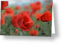Red Poppies Blooming Greeting Card