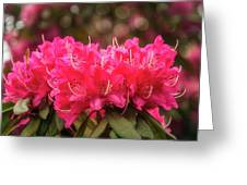 Red Rhododendron Flowers At Floriade, Canberra, Australia. Greeting Card