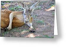 Red Roo Resting Greeting Card