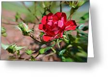 Red Rose And Buds Greeting Card