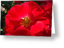 Red Rose Art Print Sunlit Roses Botanical Giclee Baslee Troutman Greeting Card