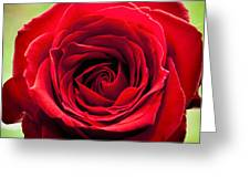 Red Rose Colour Isolated On A Green Background. Greeting Card
