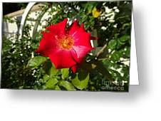 Red Rose In Summer Greeting Card