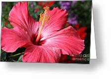Red Rose Of Sharon  Greeting Card
