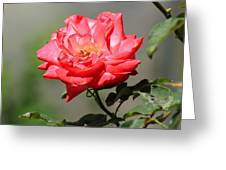 Red Rose On A Bush Greeting Card