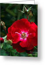 Red Rose With Buds Greeting Card
