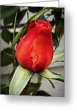 Red Rosebud  Greeting Card