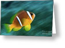 Red Sea Clownfish  Greeting Card