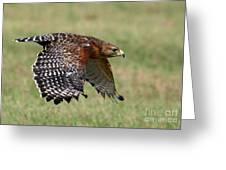 Red-shouldered Hawk Flight Greeting Card