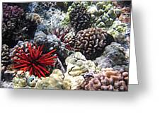 Red Slate Pencil Urchin Greeting Card