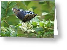 Red-spotted Purple Butterfly On Privet Flowers Greeting Card