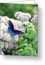 Red Spotted Purple Butterfly On Sedum Greeting Card