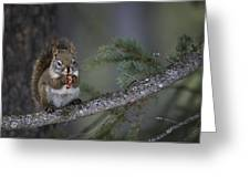 Red Squirrel Having Lunch Greeting Card