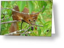 Red Squirrel In The Cherry Tree Greeting Card