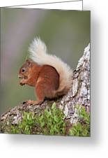 Red Squirrel On Tree Greeting Card
