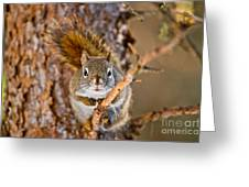 Red Squirrel Pictures 144 Greeting Card