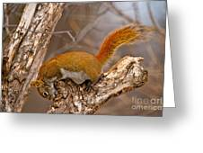 Red Squirrel Pictures 145 Greeting Card