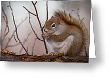 Red Squirrel - Sciurus Vulgaris Greeting Card