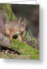 Red Squirrel - Scottish Highlands   #23 Greeting Card