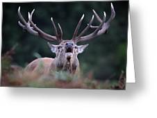 Red Stag Greeting Card