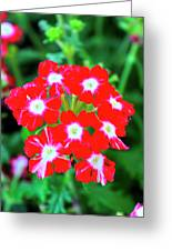 Red Star Flower Greeting Card