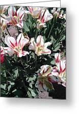 Red Stripe Tulips Greeting Card