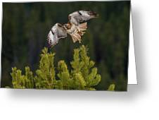 Red-tail Flight At Sunset Greeting Card