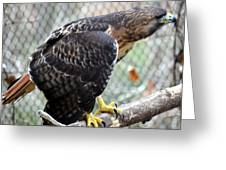 Red Tail Hawk Facing Right Greeting Card