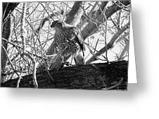 Red Tail Hawk In Black And White Greeting Card by Deleas Kilgore