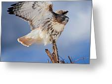Red Tail Hawk Perch Greeting Card