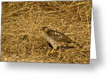 Red Tail Hawk Walking Greeting Card