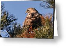 Red Tail In The Pines Greeting Card