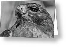 Red-tailed Hawk 2 Greeting Card