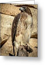 Red-tailed Hawk 4 Greeting Card
