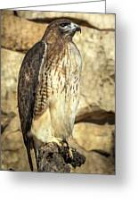 Red-tailed Hawk 5 Greeting Card