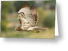Red Tailed Hawk Hunting Greeting Card