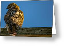 Red Tailed Hawk  IIi  Greeting Card