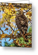 Red-tailed Hawk In Fall Color Greeting Card