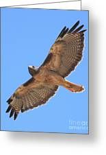 Red Tailed Hawk In Flight Greeting Card